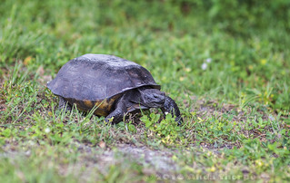 Tortoise in the Park | by Alida's Photos