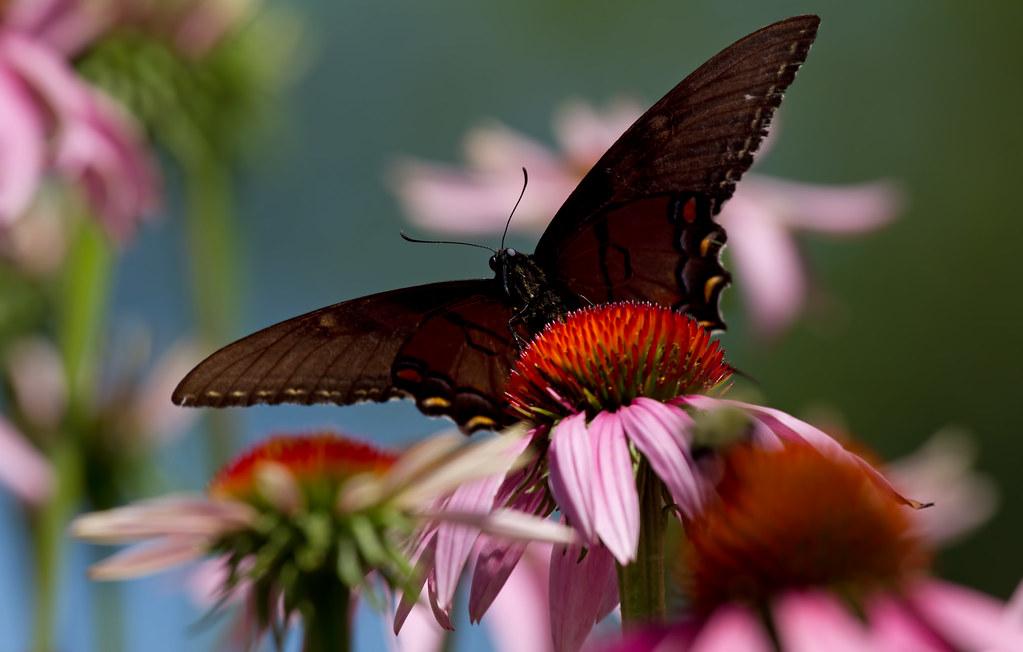 Good Morning Butterfly Eastern Black Swallowtail Butterfly Flickr