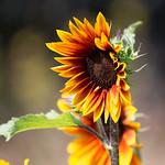 Sun flower in High Park