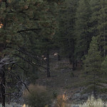 Elk in Zion National Park