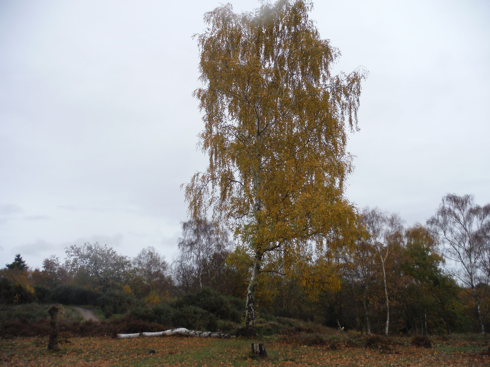 Birch in Cooper's Hill Nature Reserve SWC Walk 232 Lidlington to Flitwick
