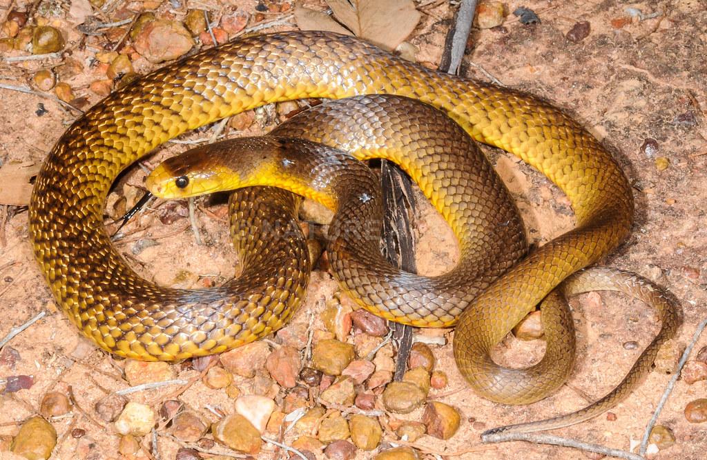 Pseudonaja nuchalis, Northern Brown Snake