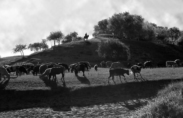 4115 Cattle grazing--Bashang grassland , China