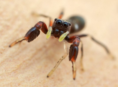 5mm ant-mimic jumping spider