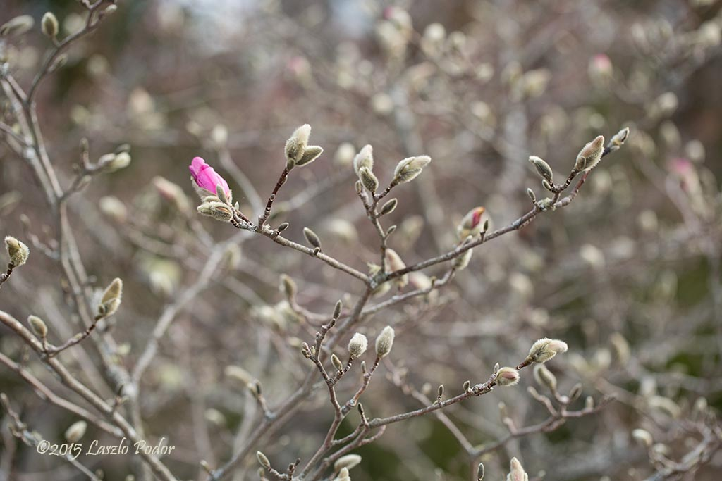 Magnolia Tree Before Full Bloom Laszlofromhalifax Flickr