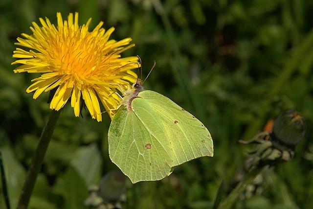 Papillon Citron sur Pissenlit