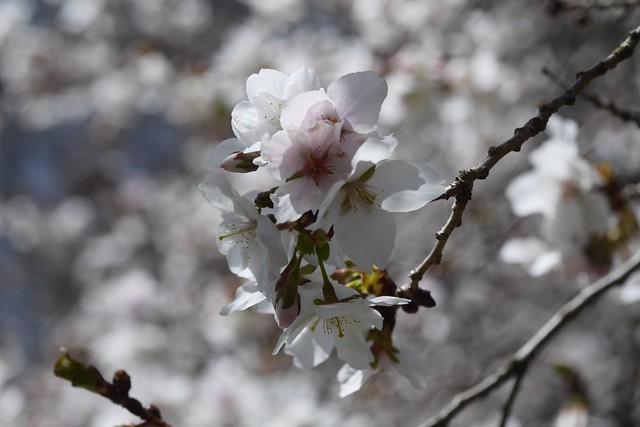 木, 2015-04-16 12:39 - Brooklyn Botanic Garden