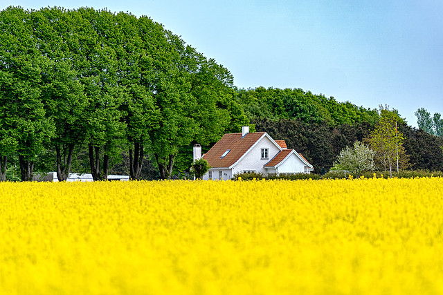 Farmhouse by the rapeseed field