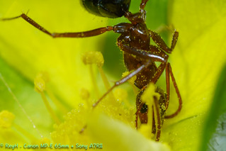 DSC07517_DxORed Ant on Creepy Cinquefoil Flower | by Dabawenyo Ako