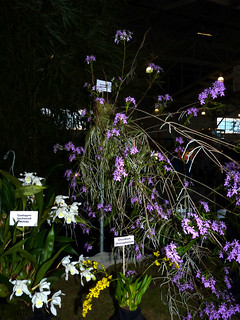 the 2015 pacific orchid exposition, Epidendrum (Oerstedella) centradenia species orchid 2-15