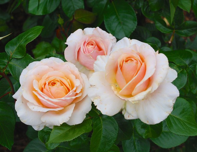Rosa - Sue Hopkin - 'Harzazz'