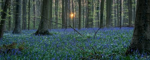 flowers tree nature sunrise nikon belgie forrest sigma april hal bos hyacinten hallerbos ncn d7100 jochemvanderblom