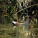 Galinha- d'água | Common moorhen (gallinula chloropus)