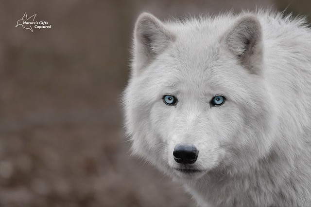 Arctic Wolf Headshot