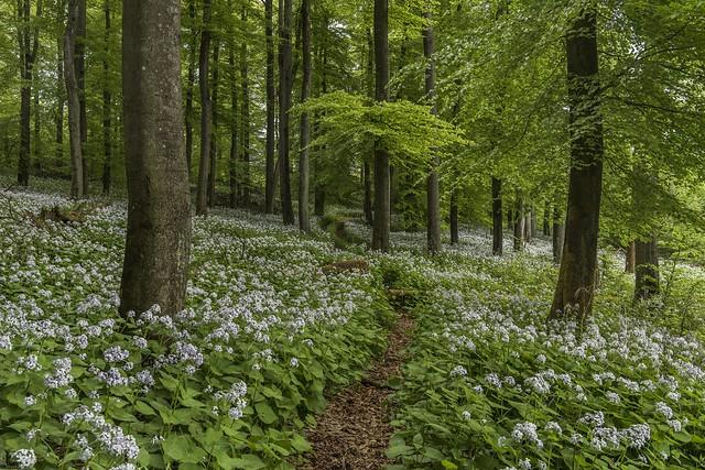 *Im Wald der Mondviolen* - *in the forest of the moonworts*