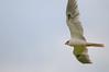 White-tailed kite by integralrootcosxdx