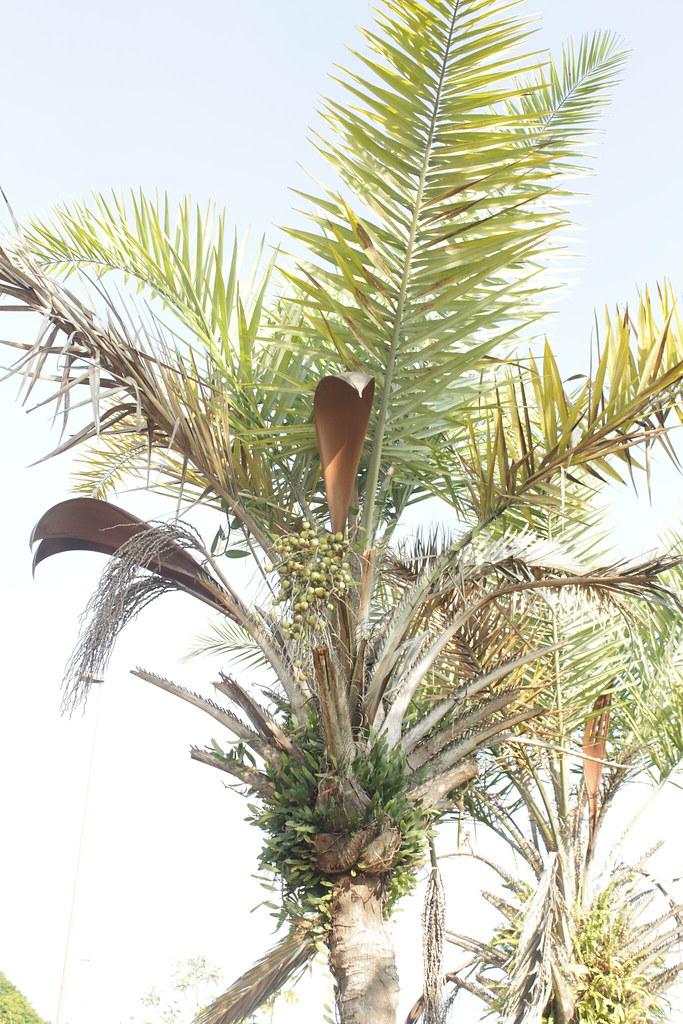 Syagrus coronata (Mart.) Becc.-006