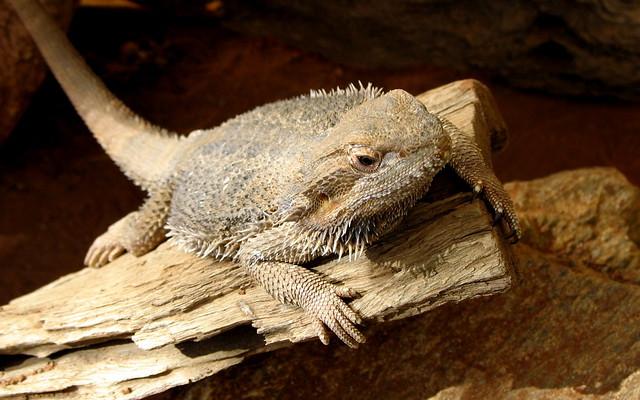 Eastern Bearded Dragon - Pogona barbata - Alice Springs