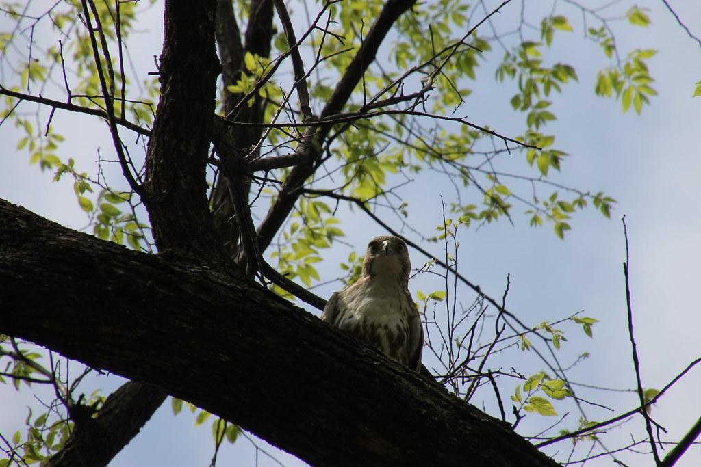 315/365/2506 (April 22, 2015) - Red-Tailed Hawk at Vanderbilt University (Nashville, Tennessee) - April 22, 2015 - Explored!