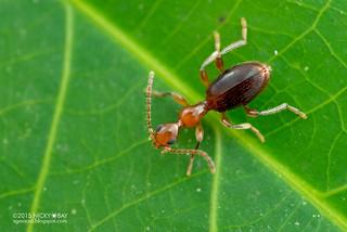 Ant-mimic beetle (Anthicidae) - DSC_7415