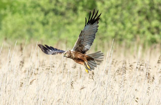DSC_2594 Marsh Harrier