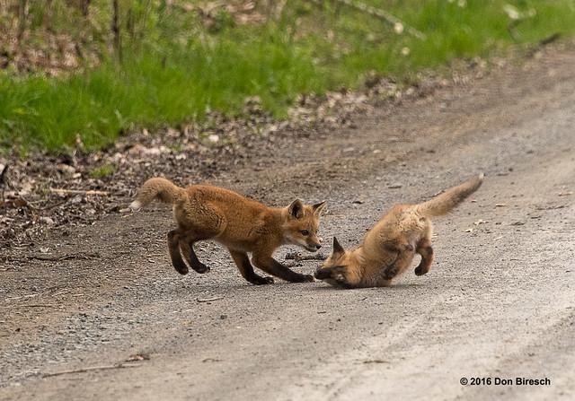 Fox Kits Playing-Butler Road-Sabinsville, PA