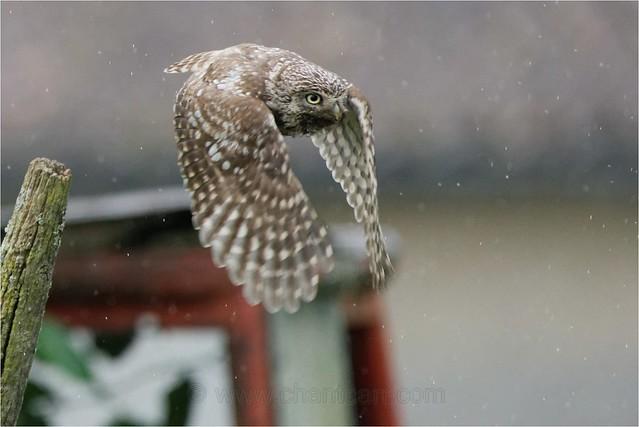Chevêche d'Athéna - Athene noctua - Litte owl