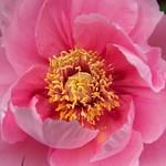 ぼたん (牡丹)/Paeonia suffruticosa