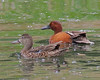 Cinnamon Teal (pair) by Keith Carlson