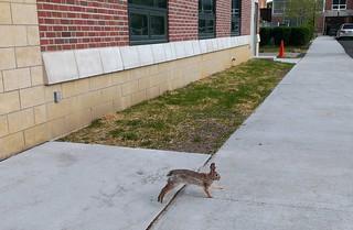 Rabbit behind Stilman Hall at Ohio State University #AnimalOSU