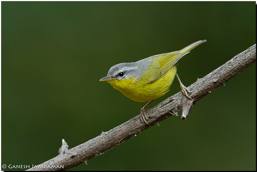 Grey-hooded Warbler (Phylloscopus xanthoschistos) | by birdsforlife