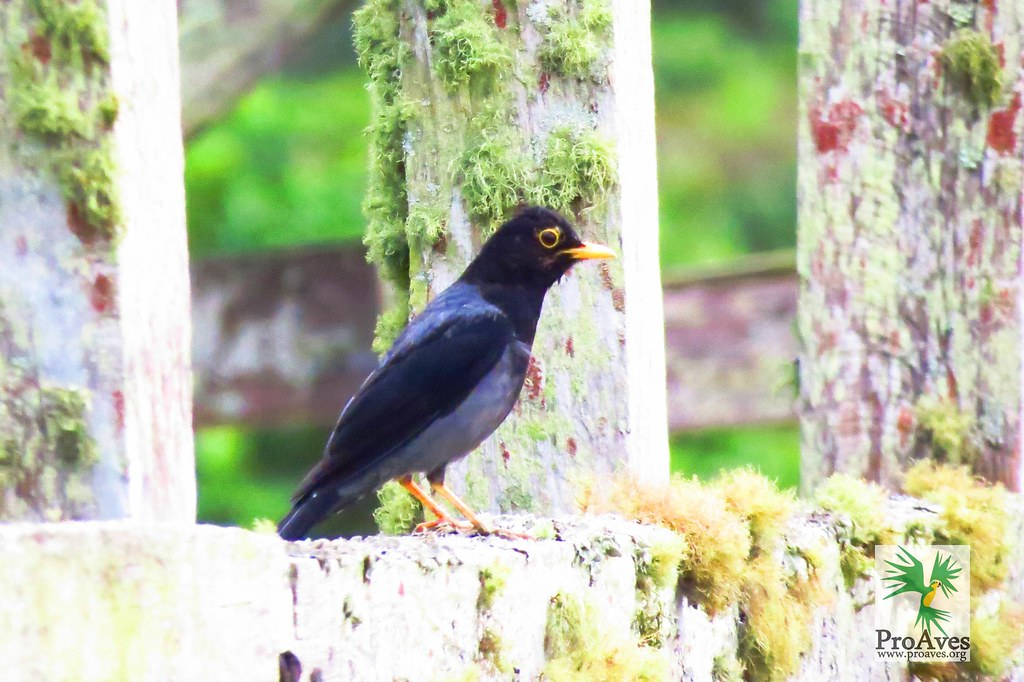 yellow-legged thrush (Turdus flavipes) census and monitoring the  Gorgeted wood quail Cerulean Warbler Bird Reserve _jornada de censo y monitoreo (Odontophorus strophium) de aves en la reserva Reinita Cielo Azul _ San V
