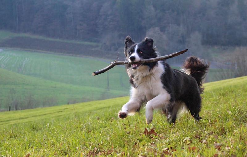 border collie top shepherd breeds
