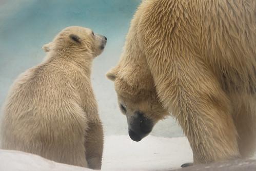 ohio animal canon polarbear toledo toledozoo lucascounty kmsmith