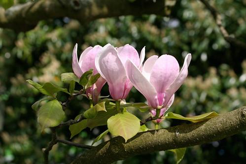 Magnolia trio