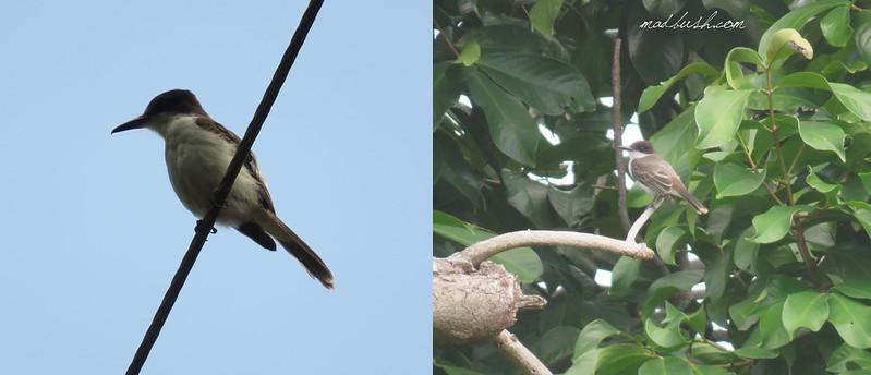 Loggerhead Kingbird (Tyrannus caudifasciatus) in Moore Town