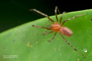 Social spider (Anelosimus eximius) - DSC_1404