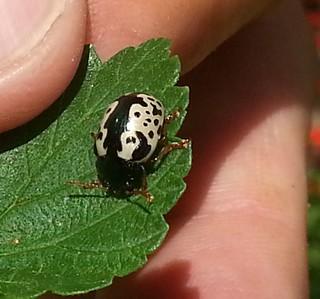 Elm calligrapha beetle