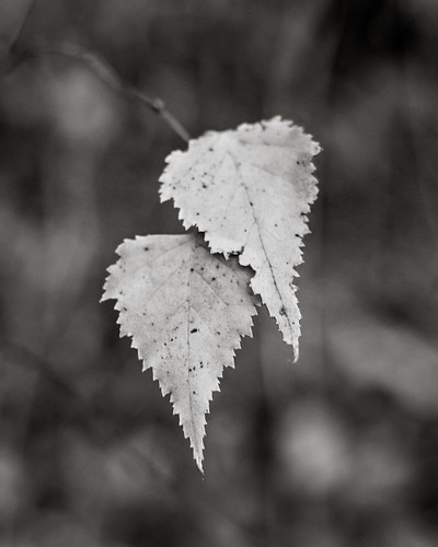 Just a Couple of Leaves | by wadaycopa