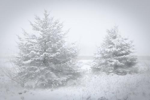 snow field heavysnow pines twinpines michigan winter invierno snowblind canoneos5dmarkiv ef24105mmf4lisusm nocolor