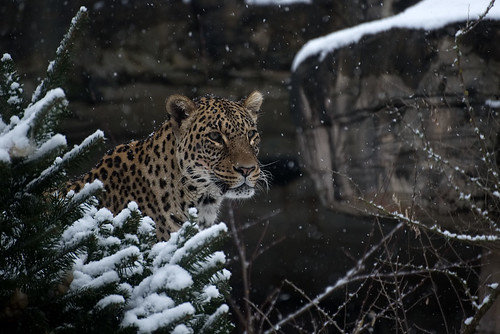 Persischer Leopard im Tierpark Dälhölzli | by burningman65