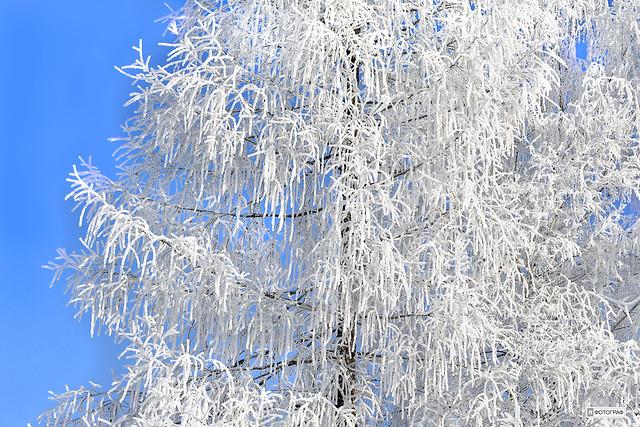 White Winter Tree (c) 2017  Бернхард Эггер :: rumoto images 7107 cc