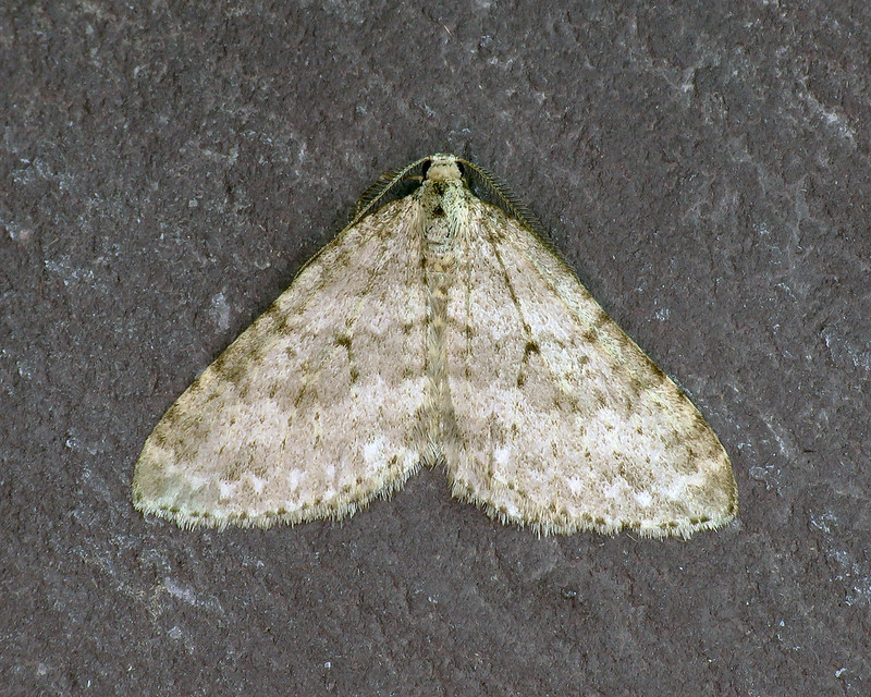70.101 Mottled Grey - Colostygia multistrigaria