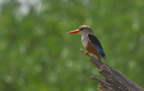 _DSC7911.Grey-headed Kingfisher. | by Berit Christophersen