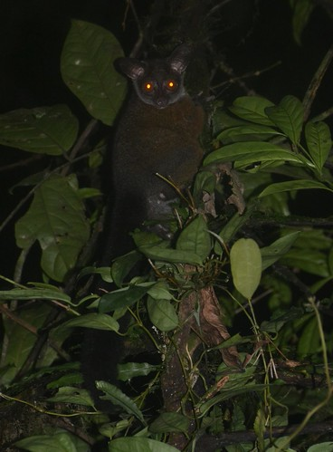 Allen's Galago | by curtisfrommichigan