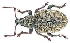 Peritelus sphaeroides Germar 1824