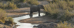 Elephant along the Sabie River