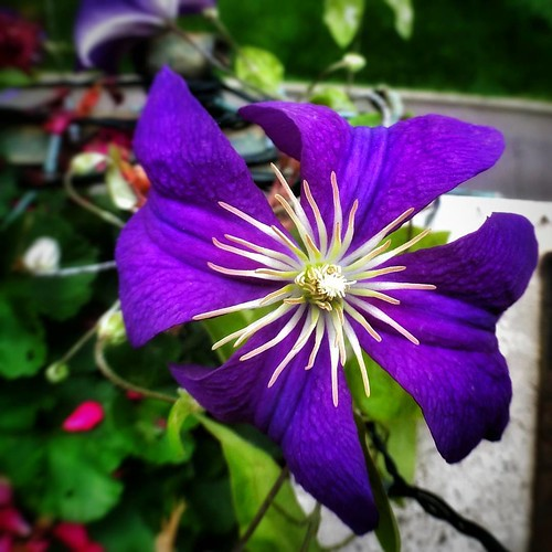 Clematis, Purple Flower  #love #tweegram #photooftheday #likes4follow #igers #picoftheday #instadaily #instafollow #followme #instagood #bestoftheday #instacool #follow #colorful #flowers #flower #petals #nature #beautiful #pretty #blossom #sopretty #summ | by Mario De Carli