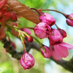 Pink buds (Spring has sprung, part V)