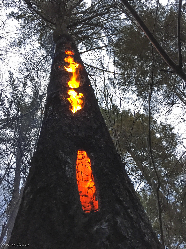 Forest Fire Encounters A Hollow Tree Where A Pileated Wood